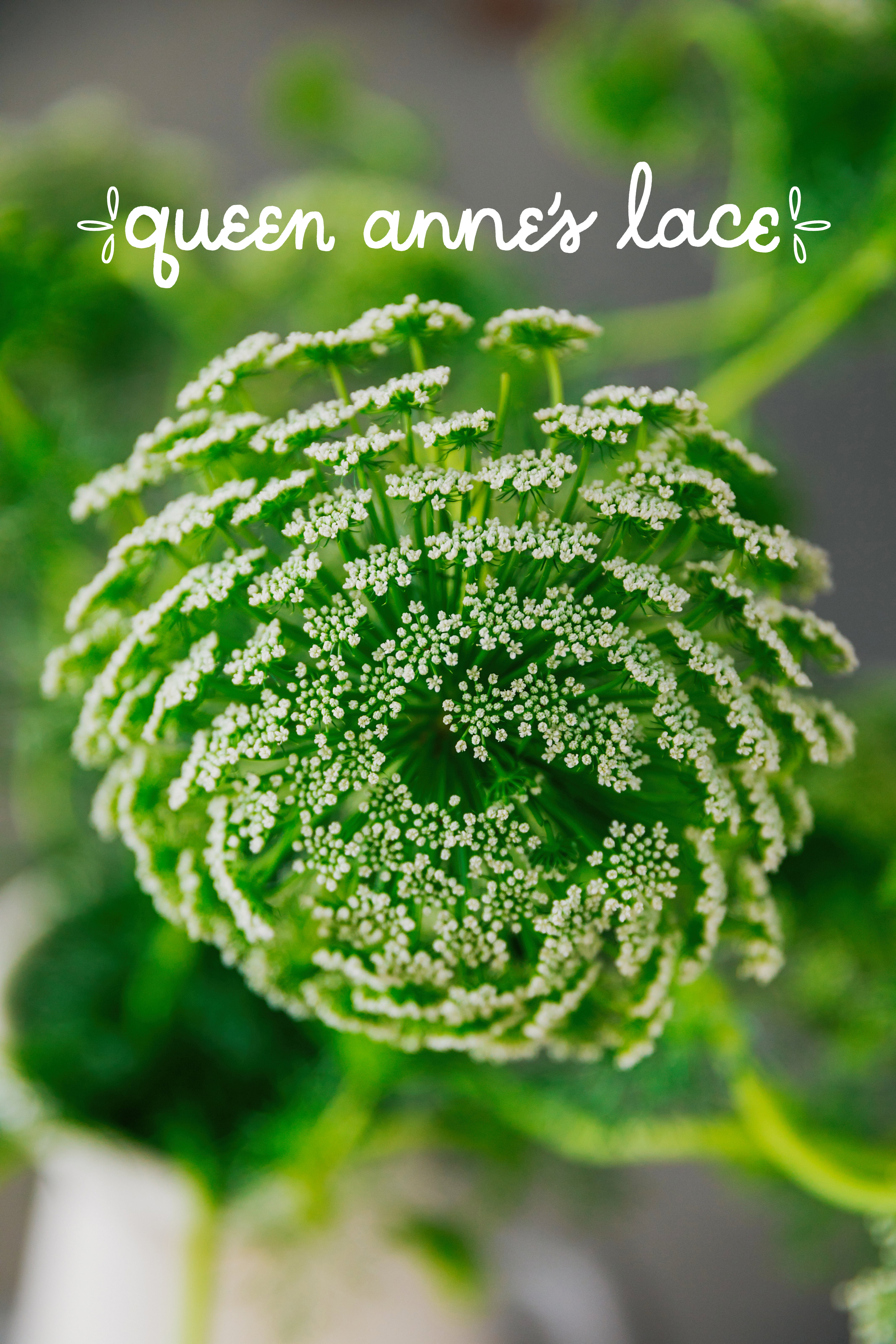 Queen Anne's Lace - California State Floral Association