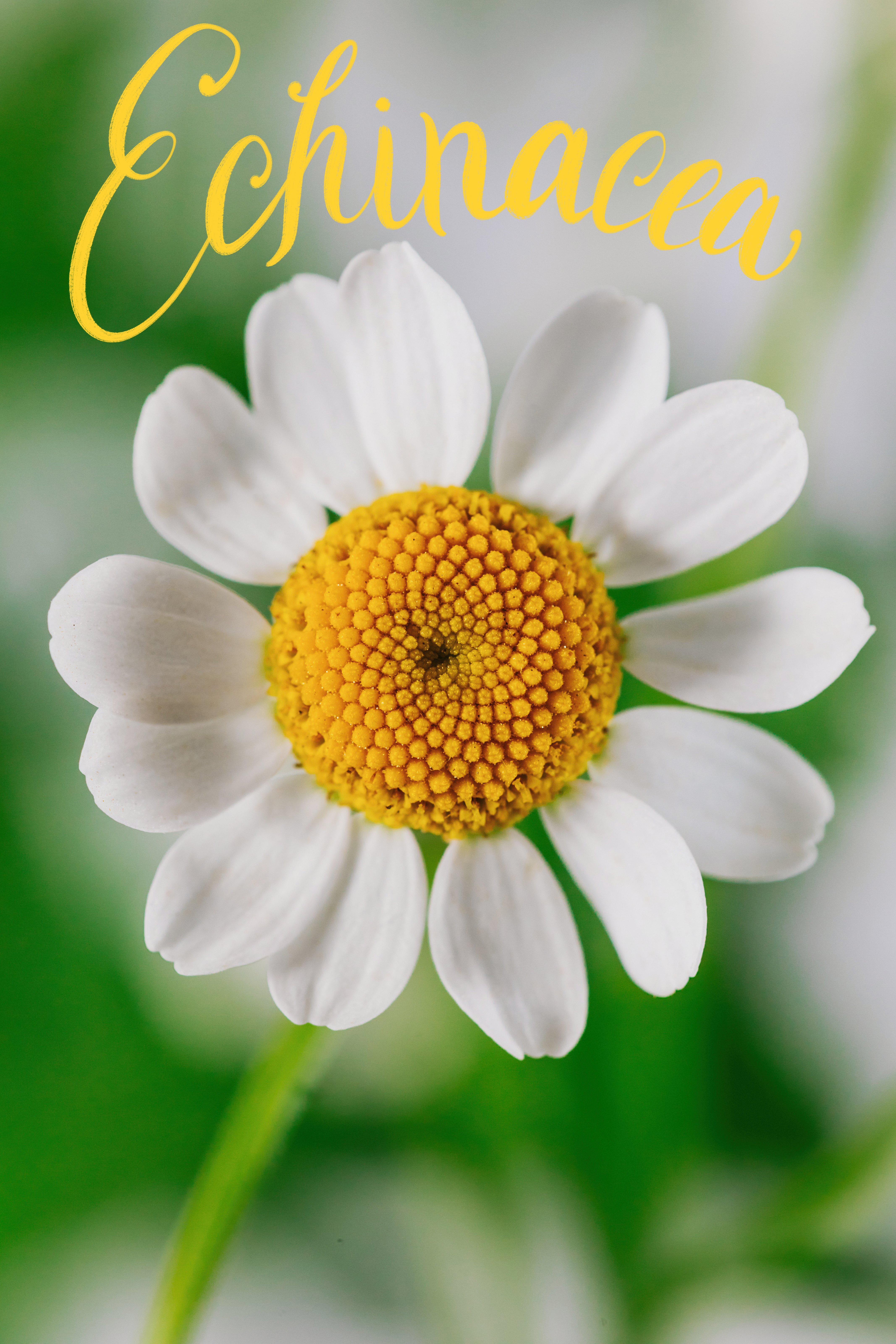 Echinacea California State Floral Association