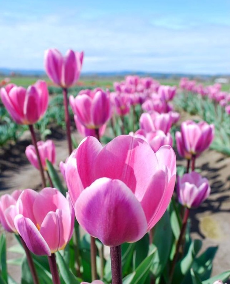 Holland America Tulips