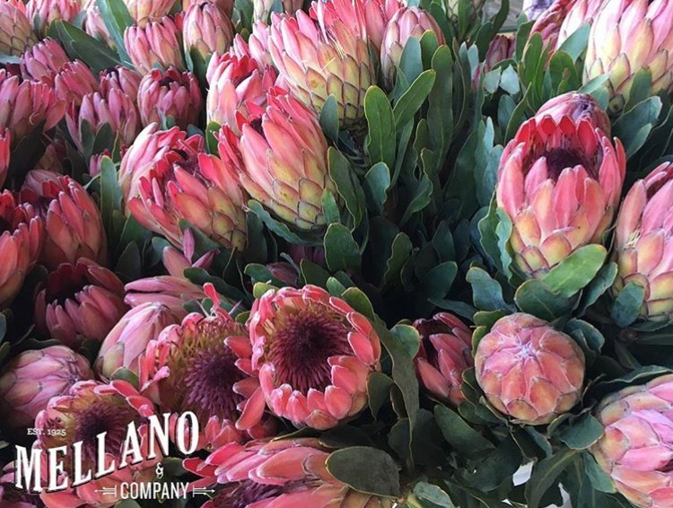 Mellano & Co Protea