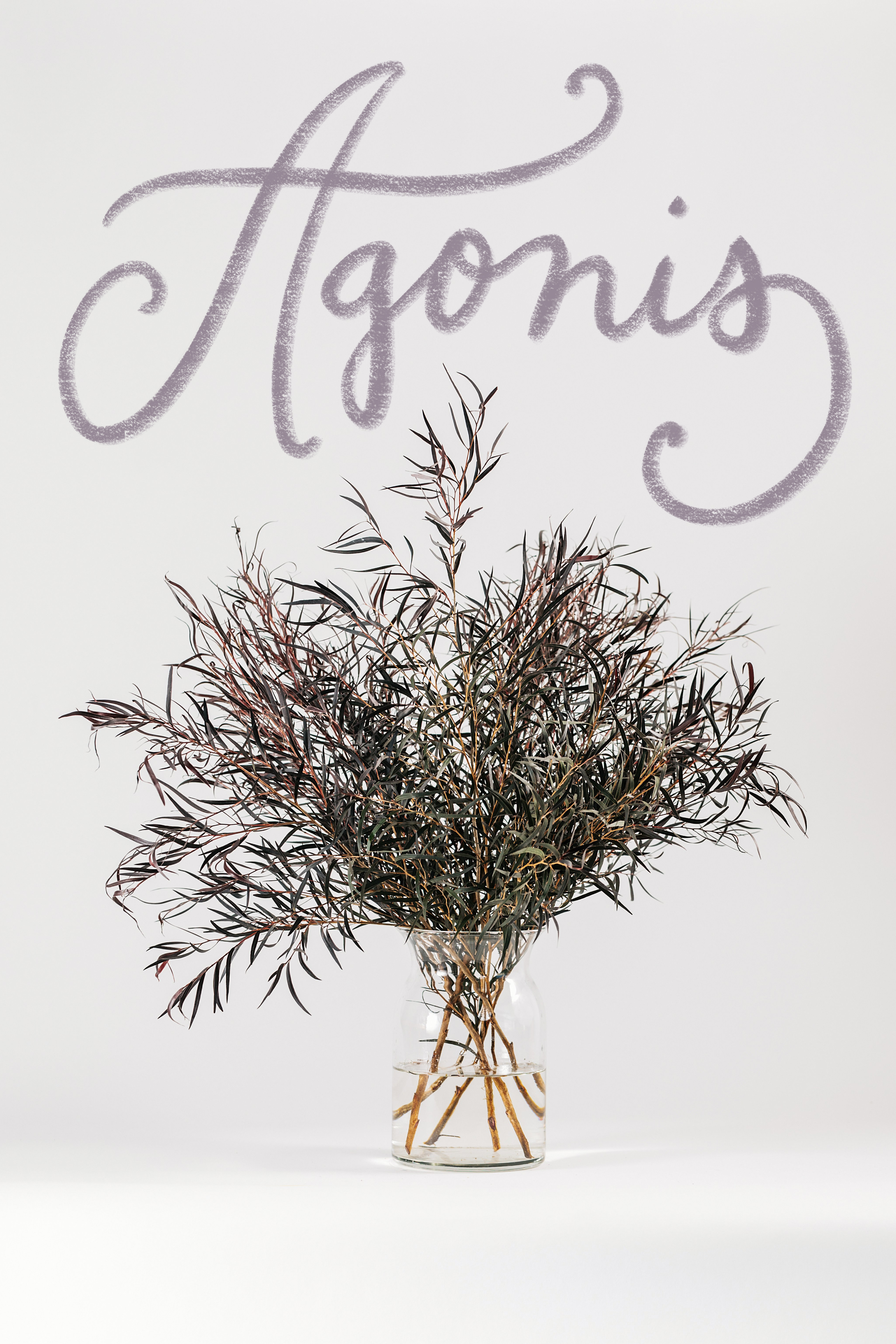 Agonis California State Floral Association